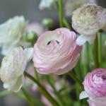 Flowers Buttercup