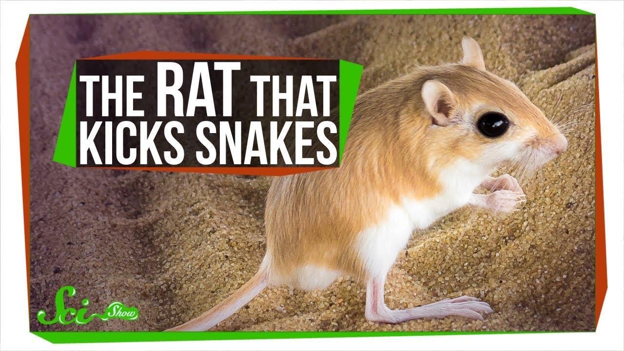 74291 The Baller Rat That Kicks Rattlesnakes in the Face