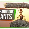 75337 7 Unbelievably Hardcore Ants