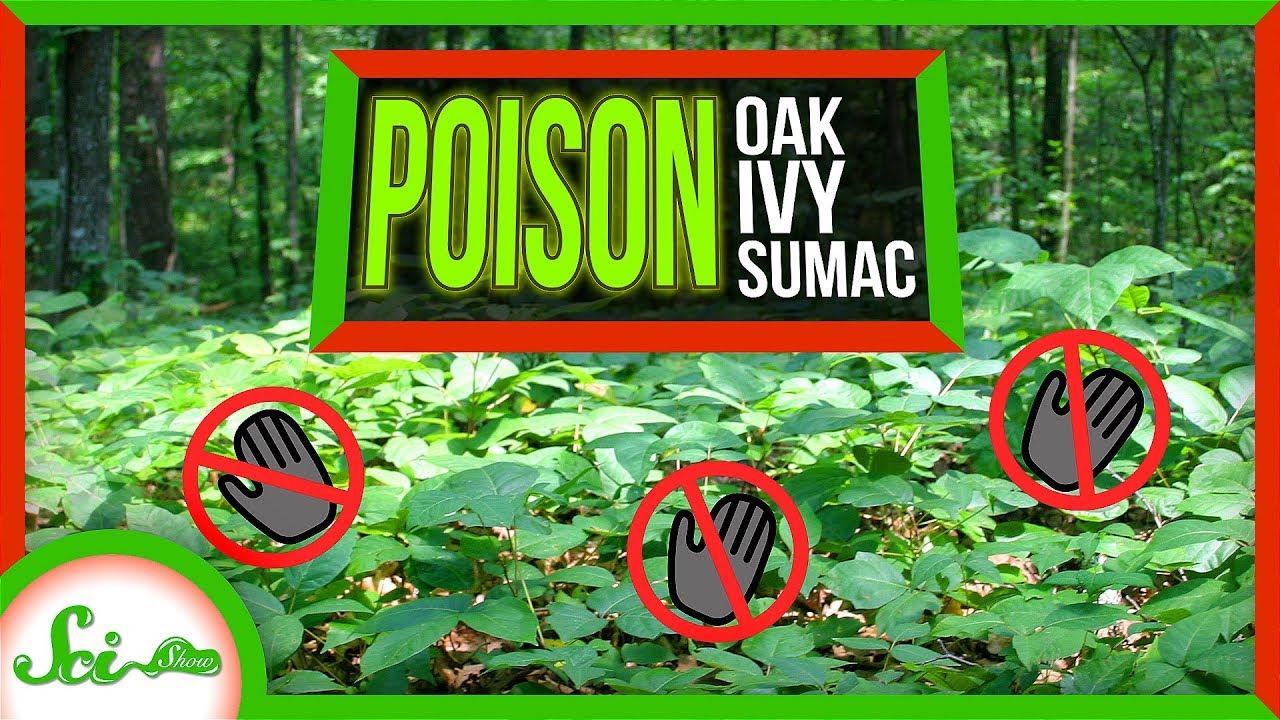 82559 Poor, Misunderstood Poison Ivy