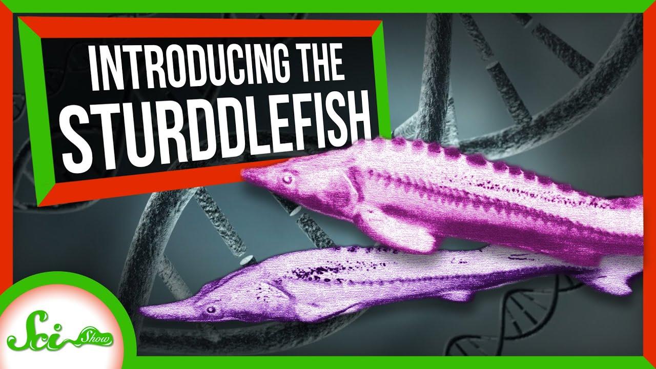 88492 This Sturgeon-Paddlefish Hybrid Shouldn't Exist | SciShow News