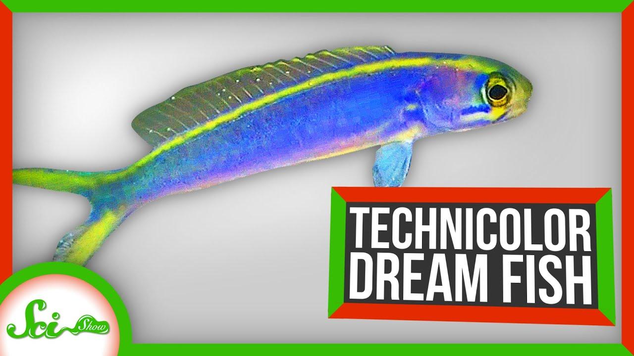91288 Technicolor Dream Fish: How Tilefish Flash