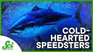 96087 The Speedy Cold-Hearted Tuna