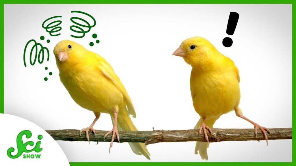 96211 Seeing Sick Birds Boosts Canaries' Immune Responses